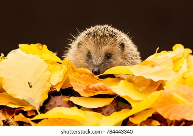 Hedgehog, wild, native, European hedgehog  in bright yellow Autumn, fall leaves.  Erinaceus europaeus.   Hedgehog is looking to the front. Dark, plain background.  Landscape.
