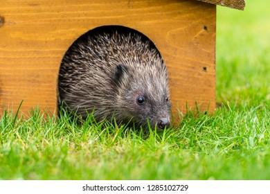 Hedgehog, wild, native, European hedgehog (Erinaceus Europaeus) and wooden hedgehog house with arched doorway, stood in natural garden habitat. Landscape, Horizontal.