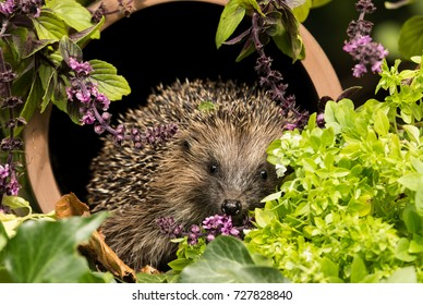 Hedgehog, wild, native European Hedgehog (Erinaceus europaeus) in colourful herb garden, sat inside a clay drainage pipe covered in wild thyme and herbs.  Facing forward.  Landscape. Horizontal