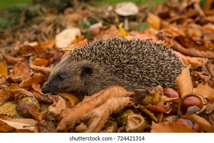 Hedgehog, wild, native European Hedgehog in golden Autumn leaves with horse chestnuts and toadstools.  Full length and facing left.  Scientific name:  Erinaceus europaeus. Horizontal. Space for copy