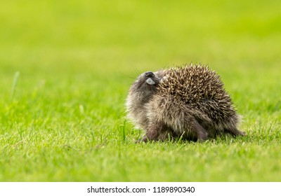 Hedgehog, wild, native, European hedgehog indulging in the strange behaviour of self-anointing by spreading froth over their spines.  Scientific name: Erinaceus europaeus.  Horizontal.