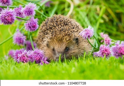 Hedgehog, wild, native, European hedgehog in natural garden habitat with bright purple flowering chives on a green lawn.  Landscape. Horizontal.