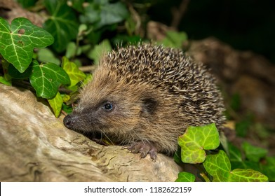 Hedgehog, wild, native, European hedgehog in natural woodland setting with green ivy and logs.  Facing to the left. Scientific name: Erinaceus europaeus.  Landscape.