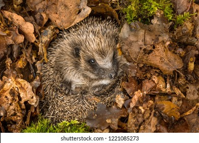 Hedgehog, wild, native, European hedgehog in natural woodland habitat and hibernating in golden brown Autumn or fall leaves.  Scientific name: Erinaceus europaeus.  Horizontal.