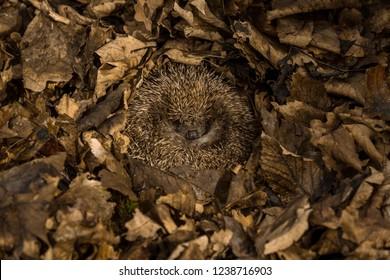 Hedgehog, wild, native, European hedgehog in natural woodland habitat and hibernating in golden brown Autumn or fall leaves.  Scientific name: Erinaceus europaeus.  Horizontal. Landscape.