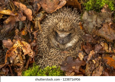 Hedgehog, wild, native, European hedgehog in natural woodland habitat and hibernating in golden brown Autumn or fall leaves.  Scientific name: Erinaceus europaeus.  Horizontal. Landscape.