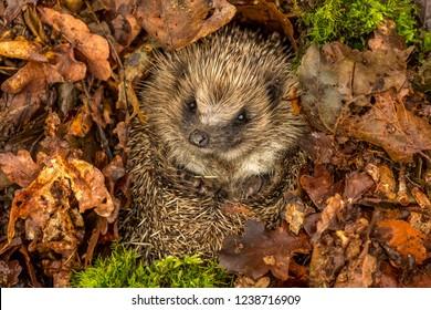 Hedgehog, wild, native, European hedgehog in natural woodland habitat and hibernating in golden brown Autumn or fall leaves.  Scientific name: Erinaceus europaeus.  Horizontal. Landscape. Copyspace