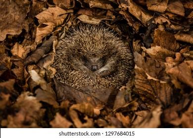 Hedgehog, wild, native, European hedgehog in natural woodland habitat. Curled into a ball and hibernating in dark brown Autumn or Fall leaves.  Scientific name: Erinaceus europaeus.  Horizontal.