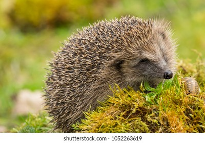 Hedgehog, wild, native, European hedgehog on green moss in natural habitat looking at a large snail.  Scientific name: Erinaceus europaeus Landscape with blurred green background