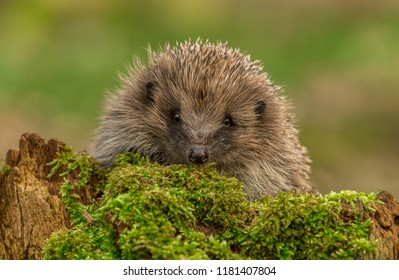 Hedgehog, wild, native, European hedgehog on green moss with blurred background.  Facing to the front. Scientific name: Erinaceus europaeus.  Landscape, horizontal.