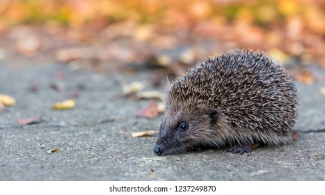 Hedgehog, wild, native, European hedgehog on road or highway with Autumn leaves in the background.  Facing forward. Scientific name: Erinaceus Europaeus. Landscape. Horizontal