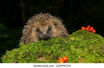 Hedgehog, wild, native, European hedgehog peeping over a green moss log with bright red berries.  Dark background.  Scientific name: Erinaceus Europaeus.  Horizontal.