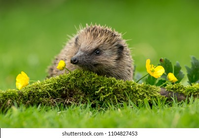 Hedgehog, wild, native, European hedgehog.  Scientific name: Erinaceus europaeus.  Hedgehog is on a green moss covered log with bright yellow buttercups at either side and is looking left.  Landscape