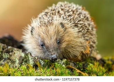 Hedgehog, wild, native, European hedgehog (Scientific name: Erinaceus Europaeus) in natural woodland habitat with blurred background. Horizontal.