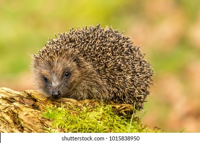 Hedgehog, wild, native,  European hedgehog stood on a log with green moss, facing to the left.  Blurred background.  Scientific name:  Erinaceus europaeus. Landscape.