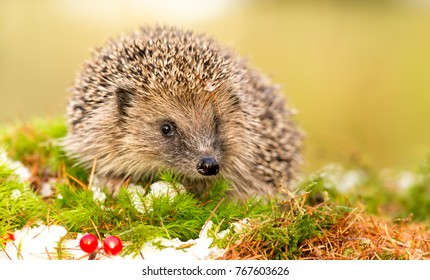Hedgehog in Winter, Native, Wild hedgehog in December with green moss, snow and red berries