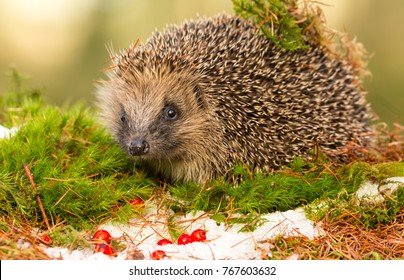 Hedgehog in Winter, Native, Wild hedgehog in December with green moss, snow and red berries. Due to climate change, the hedgehog is hibernating much later in the year