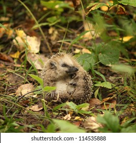 Hedgehog in the woods