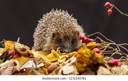 Hedgehogs, native, wild, European hedgehog in Autumn or Fall with golden leaves and red rosehips.  Dark background.  Scientific name: Erinaceus europaeus.  Horizontal.