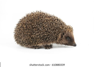 hedgehogs on a white background
