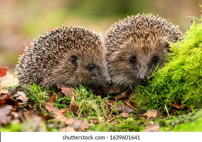 Hedgehogs (Scientific name: Erinaceus Europaeus) two wild, native, European hedgehogs facing forward in natural woodland habitat with green moss and autumn leaves. Horizontal. Space for copy. Close up