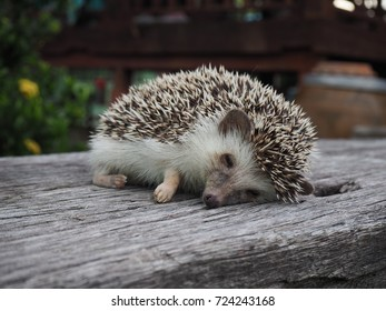 hedgehogs are sleeping on a wooden floor.