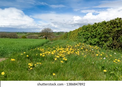 Hedgerows in Springtime views across English countryside with Dandy Lions bright yellow flowers amongst the grass.
