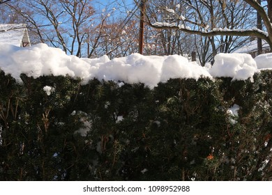 Hedges with snow on top. Winter season.