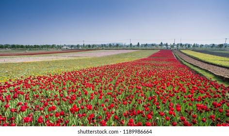 Hefei horns big tulip tulip flower sea