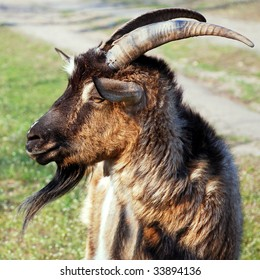 he-goat, billy goat