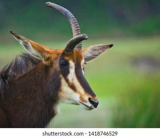 Heidekreis, Germany,June 6, 2019, Serengeti Park:Thomson Gazelle, scientific name Eudorcas thomsonii, with an overgrown and forward pointing horn, oblique portrait on the side