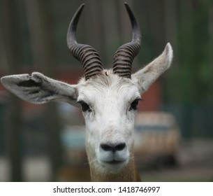 Heidekreis, Germany,June 6, 2019, Serengeti Park:Frontal portrait of a Dama Gazelle, scientific nam Nanger dama, with white face, big ears and black curved horns with deep grooves and bulges