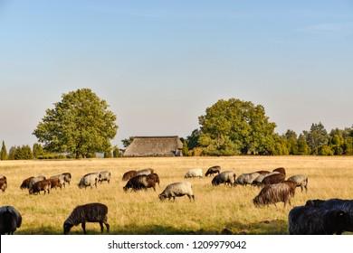 Heidschnucken in the Luneburg Heath near Undeloh