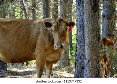 Heifer and calf on a free range ranch in the woods