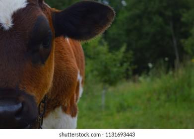 Heifer, cow, cattle