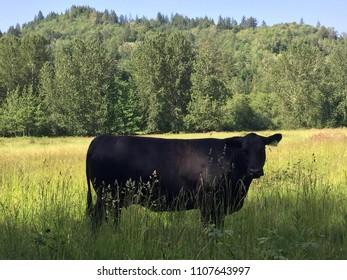 Heifer in the field