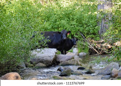 A heifer and her calf drinking from a creek on an open range ranch in the mountains