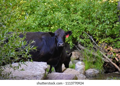 A heifer and her calf drinking from a creek