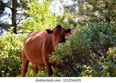 Heifer on a free range ranch in the woods