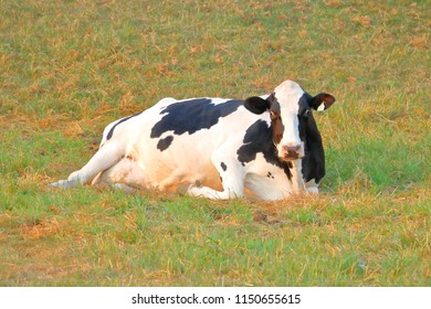 A heifer, a young domestic cow with a full belly, rests in the field on a local dairy farm.