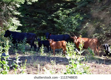 Heifers and calves on a free range ranch in the woods