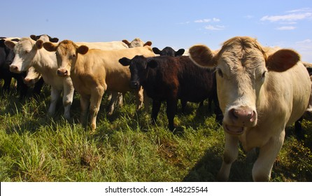 Heifers graze in a small herd along Kansas prairie