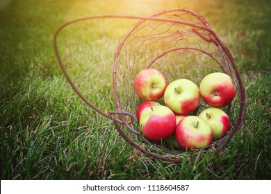 Heirloom apples in an old metal basket