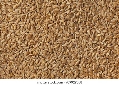 Heirloom organic Einkorn wheat seeds full frame