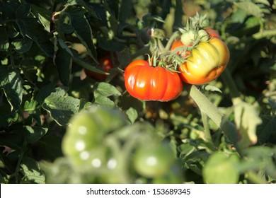 Heirloom tomatoes growing on a vine.