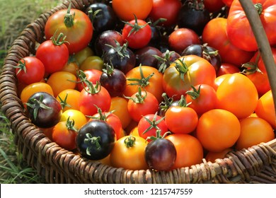 Heirloom variety tomatoes in baskets on rustic table. Colorful tomato - red,yellow , black, orange. Harvest vegetable cooking conception