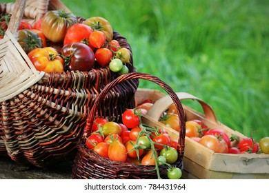 Heirloom variety tomatoes in baskets on rustic table. Colorful tomato - red,yellow , orange. Harvest vegetable cooking conception