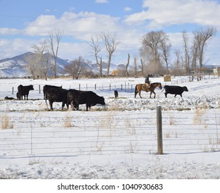 Helena, Montana, USA  March 6 2018 Rancher on horse working cows and new calves in snow