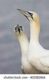 Gannets - Helgoland