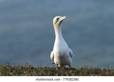 Helgoland. Photographed in the North Sea. The wild nature of the North Sea. Bird on the Rock. Northern Gannet. The North Sea.
